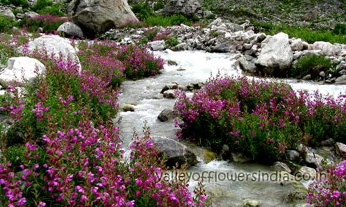 Epilobium Latifolium in deeper parts of valley of flowers, this flower paints the river banks with pink color.