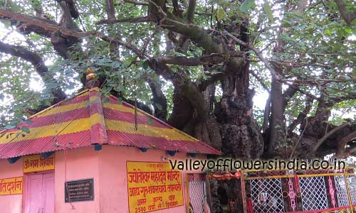 Kalpavriksha (कल्पवृक्ष) or wish fulfilling tree at Joshimath. It is believed to be 2500 years old.
