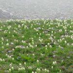 Huge colony of Saussurea Obvallata (ब्रहम् कमल) just 300 meters from Hemkund Sahib lake