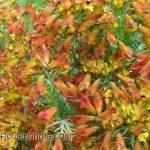 Corydalis Meifolia at Hemkund Sahib