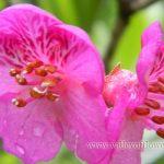 Rhododendron Lepidotum