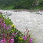 Pedicularis Bicornuta and Epilobium Latifolium on the Bank of Pushpawati River